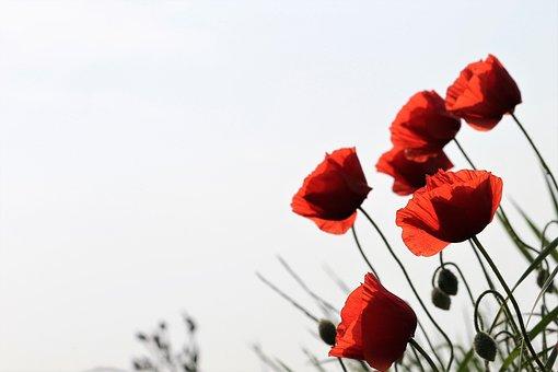 Red Poppy, Flower, Nature, Field, Meadow, Bloom