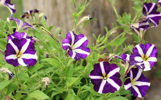 Petunia, Purple Flowers, Flower, Plant, Nature, Garden