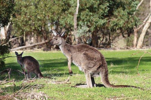 Kangaroos, Wild, Marsupials, National Park, Nature