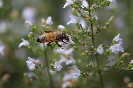 Nature, Insect, Flower, Bee, Outdoors, Honeybee, Thyme