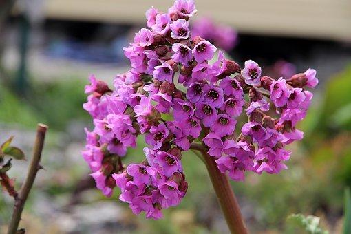 Badan, Bergenia, Flower, Nature, Plant, Outdoors