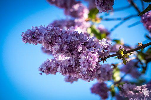 Lilac, Blossom, Bloom, Purple, Violet, Flower, Plant