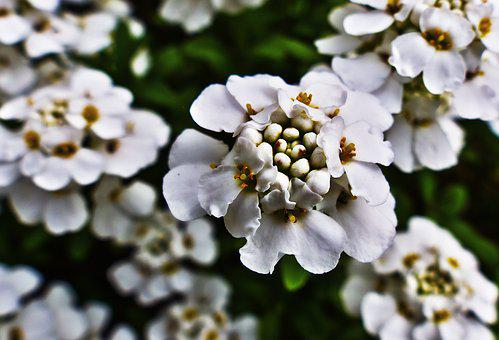 Candytuft, Flowers, White Flowers, Flower, Plant