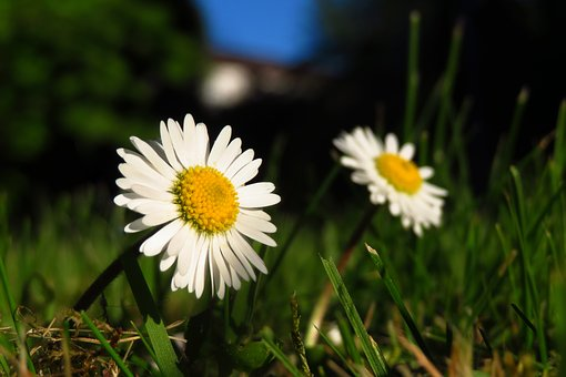 Geese Flower, Daisy, Meadow, Nature, Plant, Flower