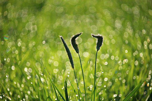 Grass, Dew, Plantain, Weed, Morgentau, Green, Plant