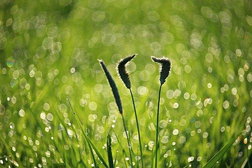 Grass, Dew, Plantain, Weed, Morgentau, Green, Plant