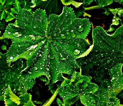 Leaf, Drip, Wet, Raindrop, Drop Of Water, Avens