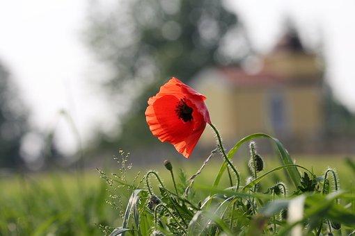 Red Poppy Near Chapel, Flower, Nature, Field, Meadow