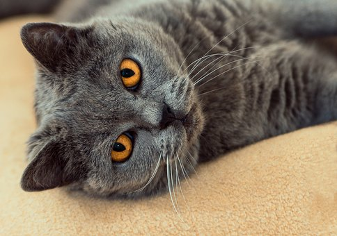 Cat, Is, Grey, View, Eye Contact, Satisfied, Relaxed