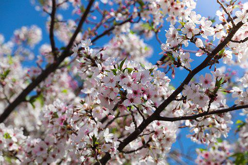 Cherry, Tree, Branch, Flower, Season, Apple, Nature