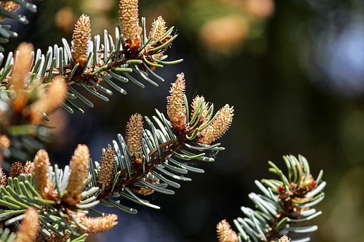 Pine, Tap, Small, Young, Shoots, Grow, Growth, Nature