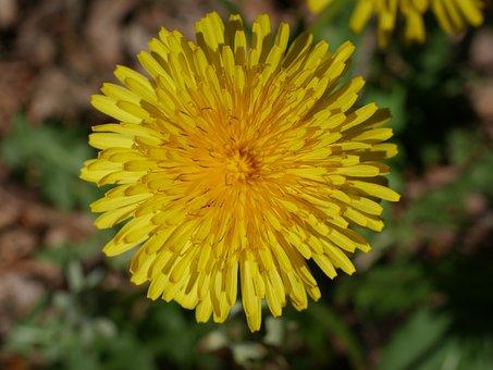 Nature, Flower, Plant, Summer, Dandelion, Close, Garden