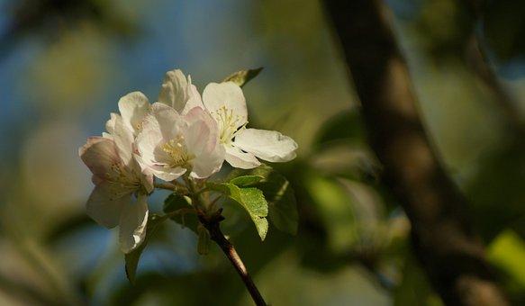 Apple, Blossom, Bloom, Spring, Sunny, Petals, Garden