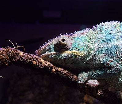Panther Chameleon, Chameleon, Drop Of Water, Tired