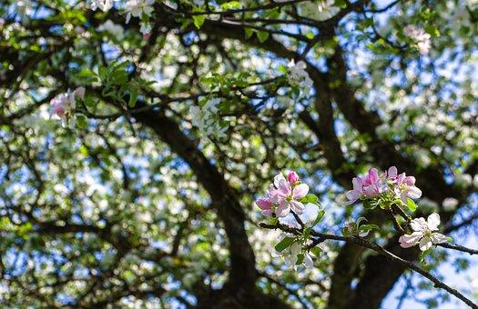 Tree, Flower, Nature, Plant, Apple Tree, Apple Blossom
