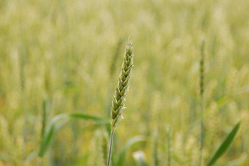 Field, Grain, Rural Area, Wheat, Crop