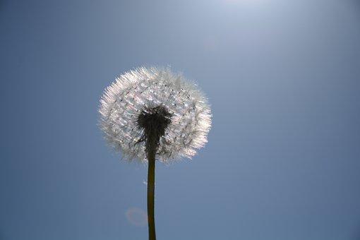 Dandelion, White, Macro, Dandelions, Nature, Flower