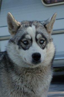 Husky, Nature, Dog, Siberian Husky, Sled Dog, Animal