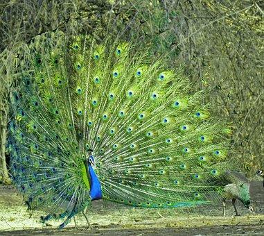 Peacock, Nature, Animal, Feather, Tail, Bharat, Kansara