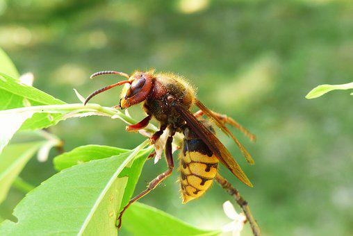 Animals, Invertebrates, Insect, Osowate
