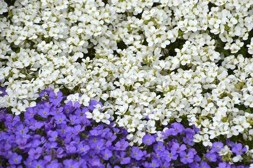Aubriète Purple, Aubrieta Deltoidea, Aubriète White