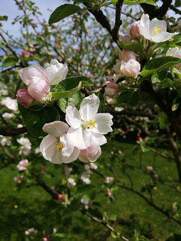 Spring, Apple Tree, Apple Blossoms, Bloom