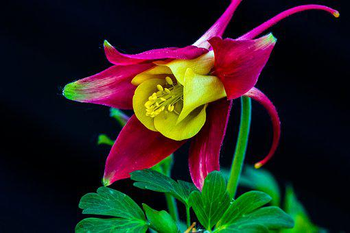 Columbine, Blossom, Bloom, Flower, Purple, Flora