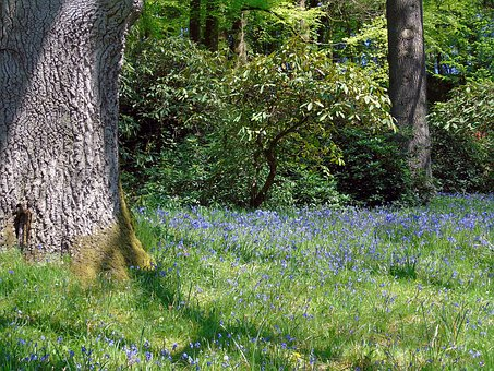 Bluebell, Bluebells, Wood, Flower, Blue, Spring, Nature