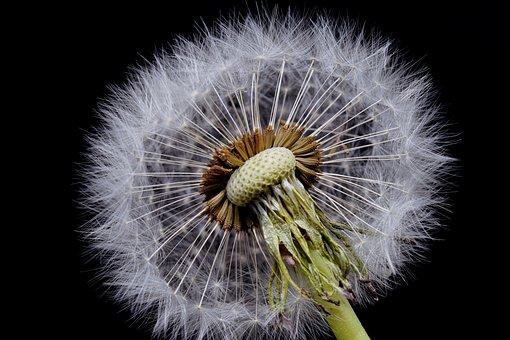 Dandelion, Macro, Common Dandelion, Flower Head, Close