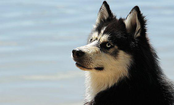 Husky, Dog, Dog Breed, Siberian Husky, Animal, Sled Dog