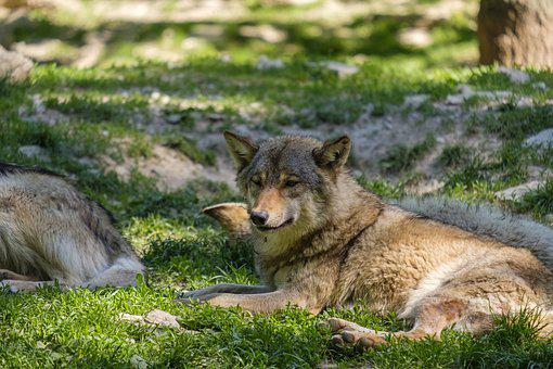 Wolf, Predator, Dog, Pack Animal, European Wolf