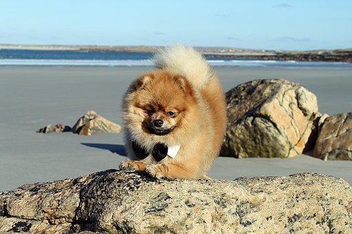 Spitz Miniature, Pure-breed Dog, Doggy, Dog Model