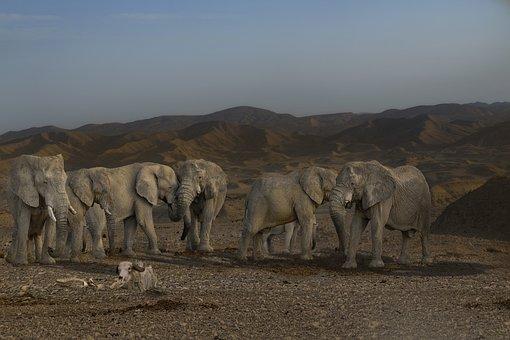 Elephant, Pachyderm, Elephant Boy, Tusks