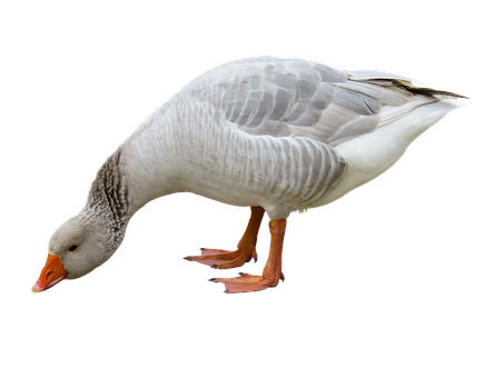 Animal, Goose, Poultry, Bird, Bill, Feather, Isolated