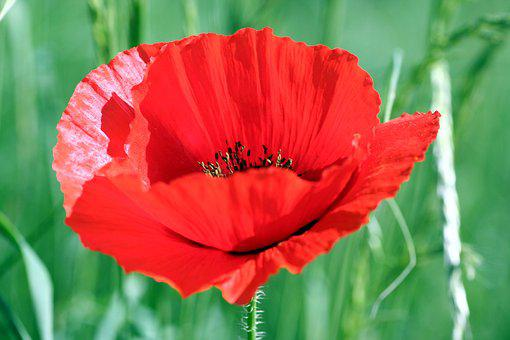 Flower, Poppy, Red, Fields, Field, Country, Spring