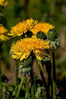 Dandelion, Flower, Yellow, Taraxacum, Knob, Spring