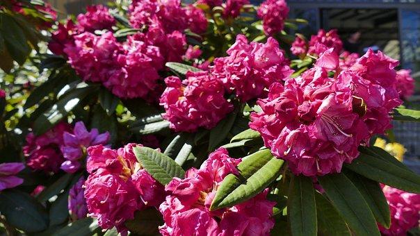 Flowers, Bloom, Nature, Spring, Anemone, Garden