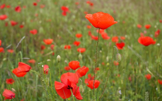 Nature, Flowers, Poppies, Field
