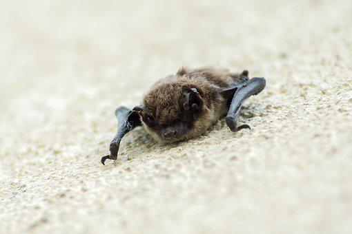 Bat, Flugtier, Bats, Flying Dog, Vampire, Nature, Sleep
