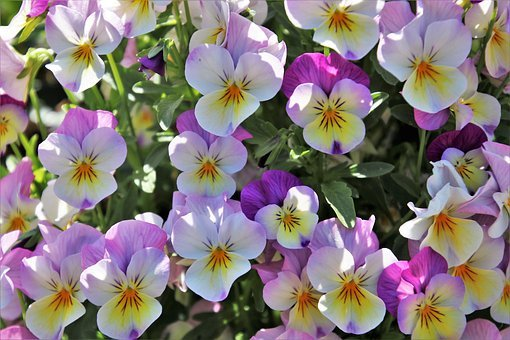 Pansies, Colorful, Spring, Garden, Full Bloom, Closeup