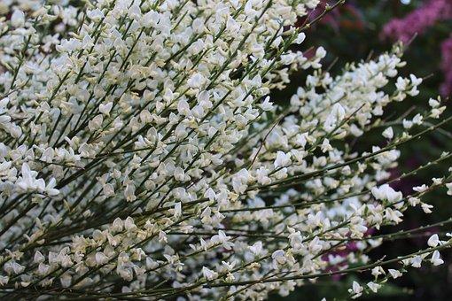 Flowers, Spring, Cherry Blossom, Garden, Plant