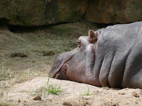 Hippo, Mammal, Animal, Nature, Wildlife, Wild