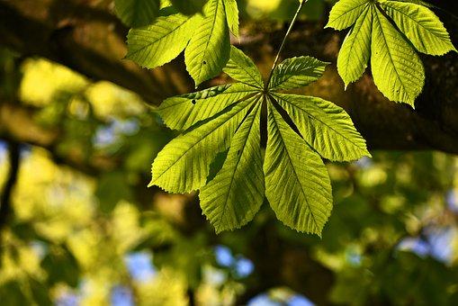 Horse Chestnut Leaf, Chestnut Leaf, Tree, Branch