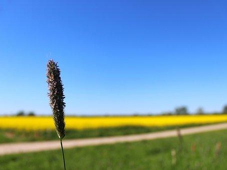 Grass, Landscape, Oilseed Rape, Field Of Rapeseeds