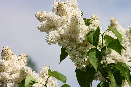 Lilac, White, White Lilac, Flowers, Spring, Plant