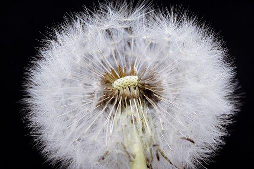 Dandelion, Macro, Common Dandelion, Flower Head