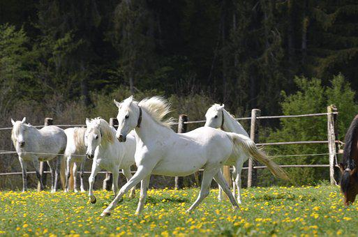 Mare, Main And State Stud Marbach, Mare Herd