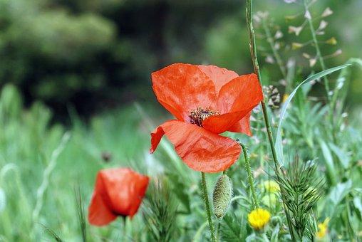 Poppy, Flowers, Red, Wild Flowers, Nature, Wild Flower