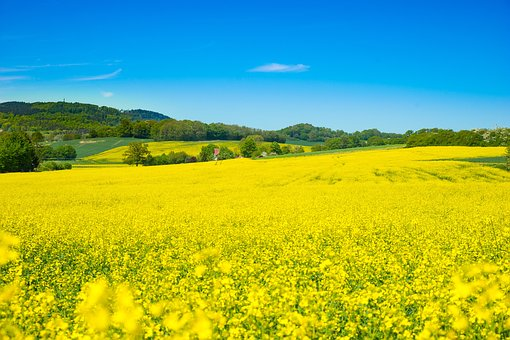 Oilseed Rape, Field Of Rapeseeds, Spring