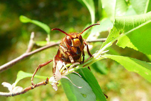 Animals, Invertebrates, Insects, Osowate